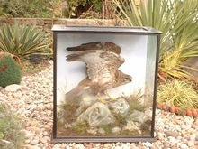 TAXIDERMY OF BUZZARD.