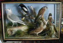 LARGE  MIXIED TAXIDERMY CASE OF BIRDS.