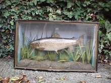 STUFFED TROUT IN GLASS CASE