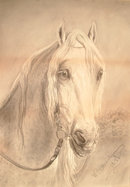 Charcoal Drawing Head of Arab Horse Stallion by Montgomery