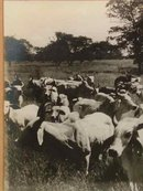 La Punta of Jose Estrada Palma G Herd of CEBU Cattle Photograph