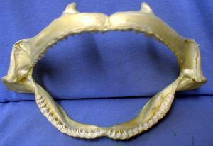 SHARK Jaw with TEETH - Shark Tooth ~ Salt Water Fish -