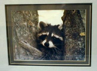 Picture  RACOON Photograph  - Limited Edition Photograph  - Misc