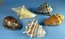 old Group of Ocean SEA SHELLS Vintage Souvenir Group