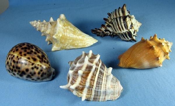old Group of Ocean SEA SHELLS Vintage Souvenir Group