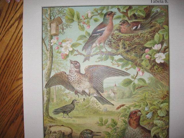 Antique Color Lithograph BIRD BIRDS  Collage  - FAL Art