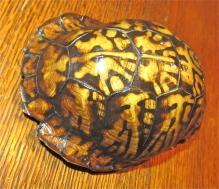 Turtle Shell from taxidermy