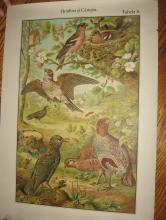 Color Lithograph BIRD BIRDS  Collage  - Antique Art   fal