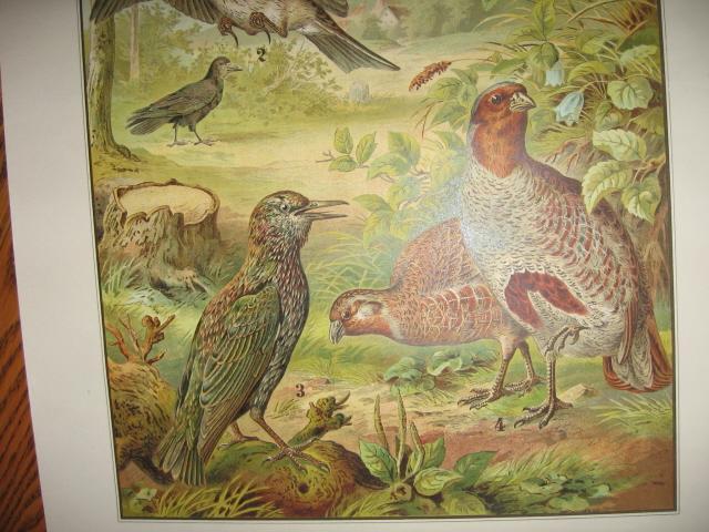 Color Lithograph BIRD BIRDS  Collage  - Antique Art   fal