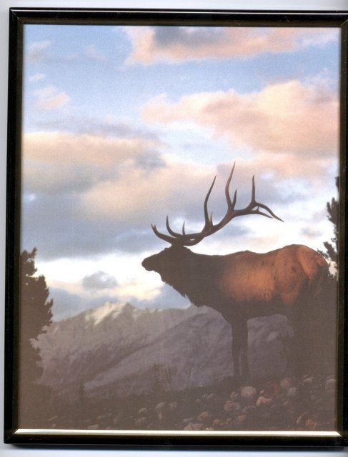 Framed Elk  at Dusk  Print