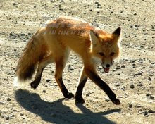 Original Photo  Red  Fox in Carmacks Yukon Territory , signed